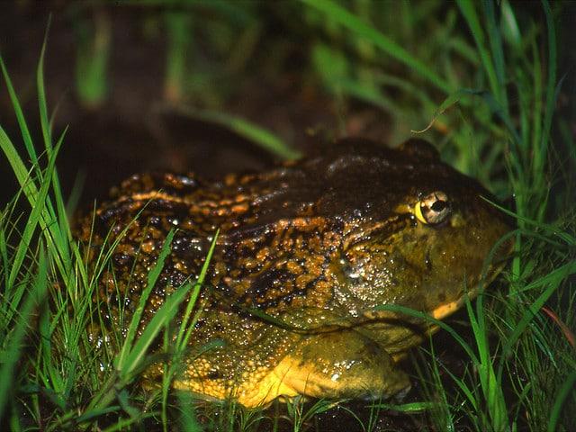 Bullfrog - Africa