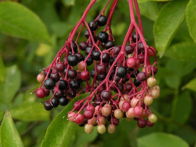Elderberries ripening in Anderlecht