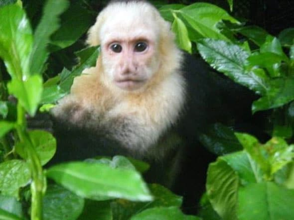 The Costa Rican monkey