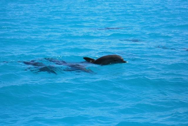 Dolphins at Zanzibar, Tanzania