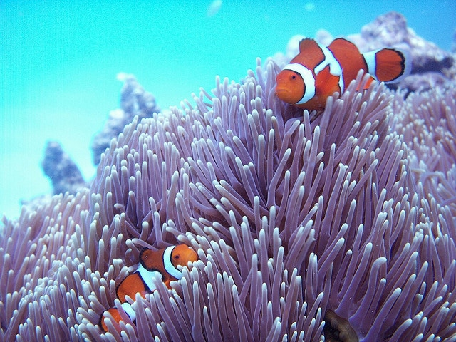 Hiding Nemo, Great Barrier Reef