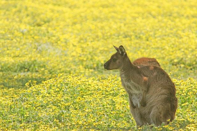 A kangaroo in Kangaroo Island