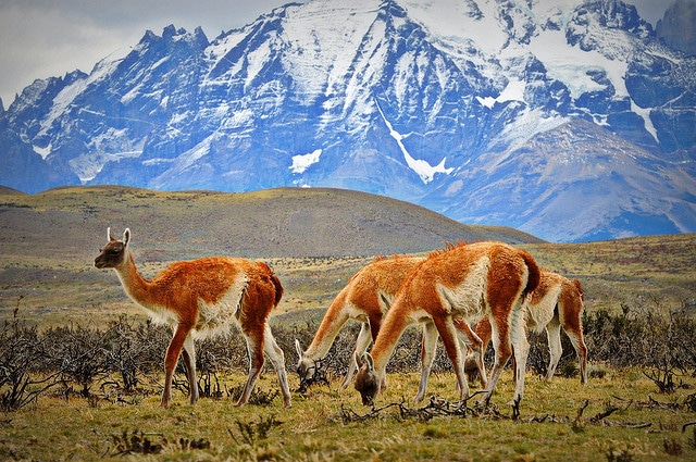 These guanacos can't believe you had mistaken them for llamas