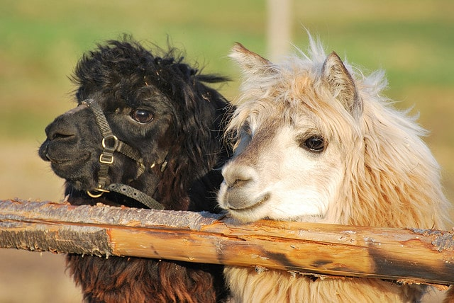 These two alpacas want you to call them cuties
