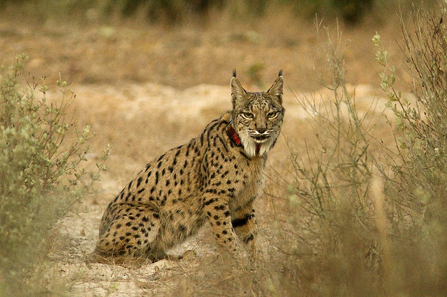 A lynx in Doñana (the red radio collar suits him perfectly)