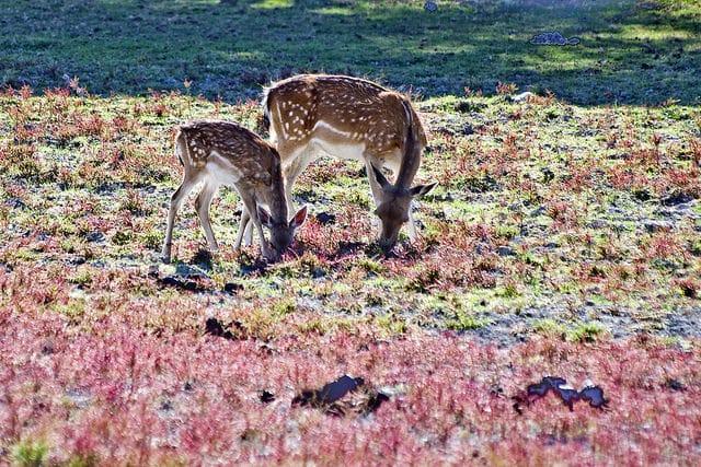 Two deers in pasturelands of Doñana