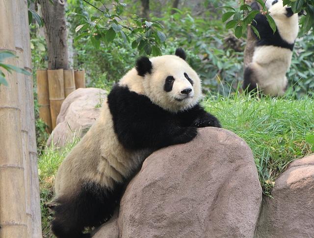 Some of the last panda bears
