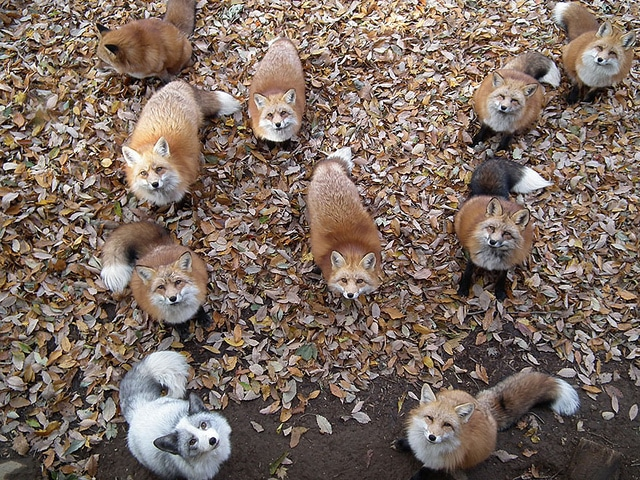 A hundred foxes of all colours
