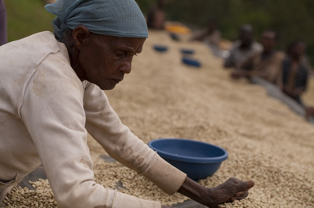 Sorting coffee on drying beds