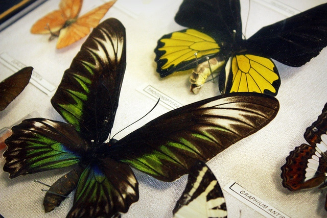 Collection of Endangered Butterflies