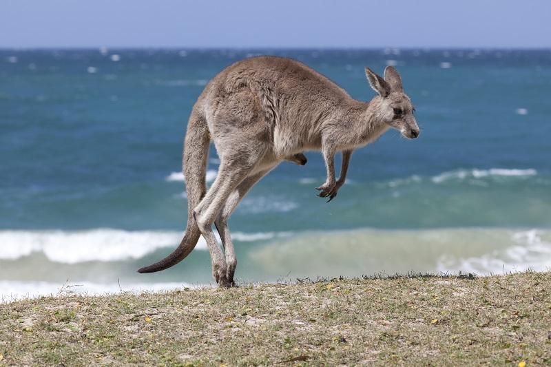 Jumping  Red Kangaroo on the beach,  Australia