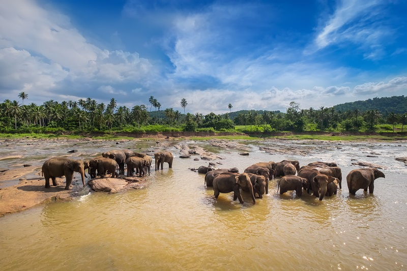 Large Asian elephants.  Nature of Sri Lanka