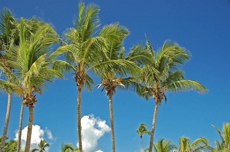 Cocos nucifera Eleuthera