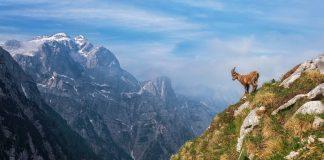 Alpine Ibex in the morning in Julian Alps