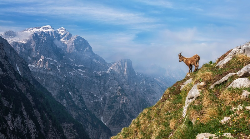 Alpine Ibex in the morning in Julian Alps