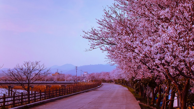 blossom-cherry-flower-at-naju-city-south-korea