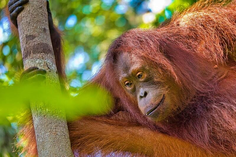orangutan-tanjung-puting-national-park-borneo-indo