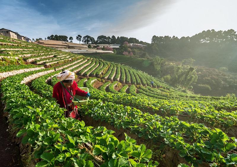 farmer pick in Strawberry fruit when sunrise on in strawberry fi